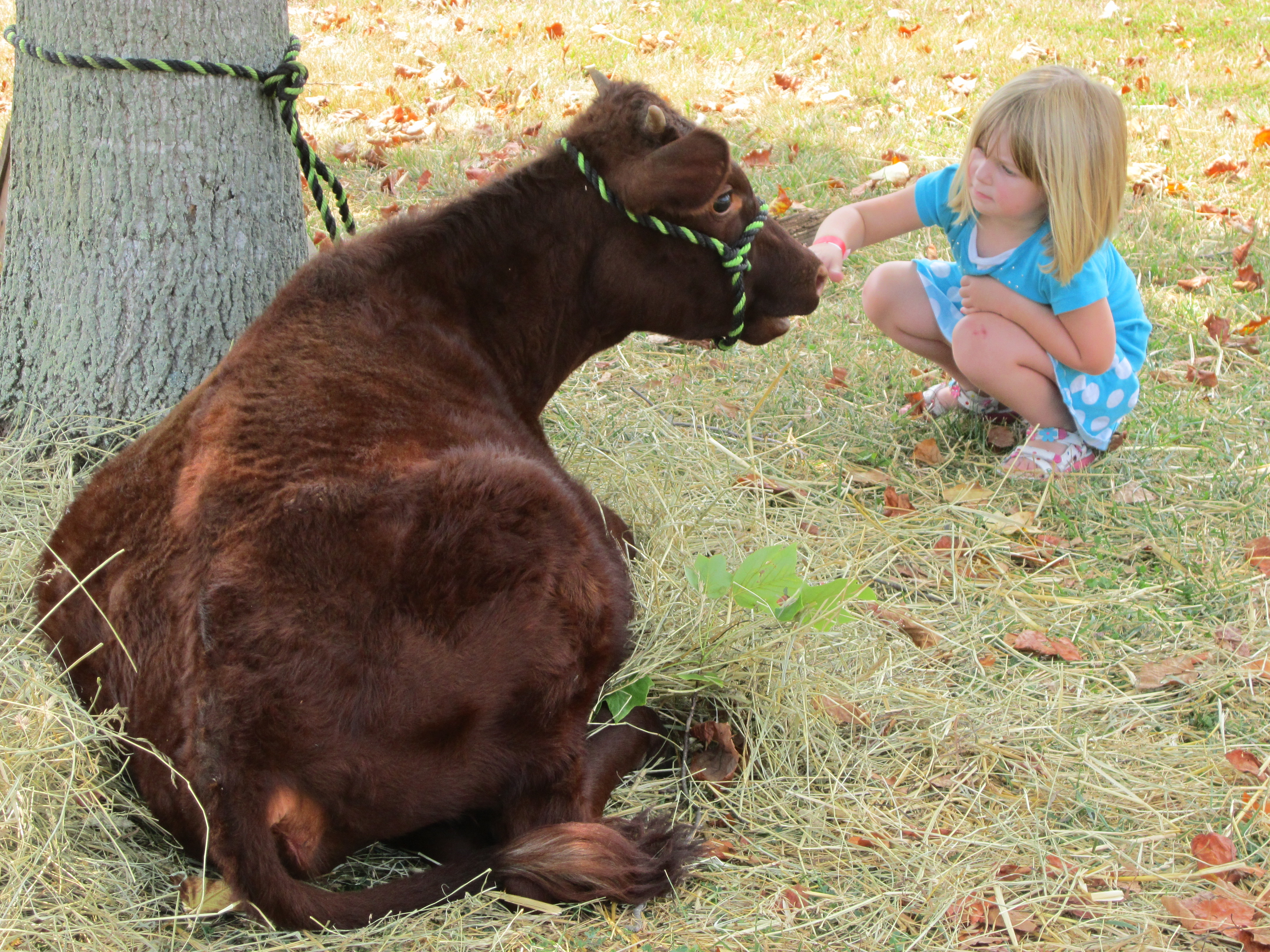 National_Colonial_Farm_Cow