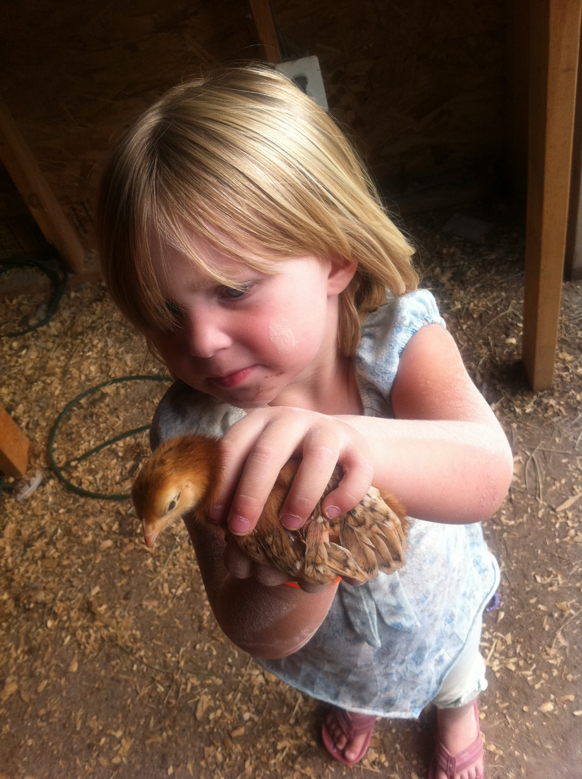 Great_Country_Farm_Baby_Chick