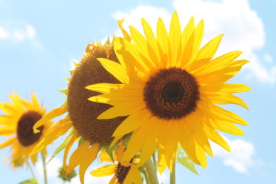 Sunflower Sunsations