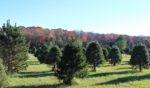 Hanks Christmas Trees at Heartland Farm