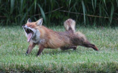 Foxy Yawn – Pic 2 Click