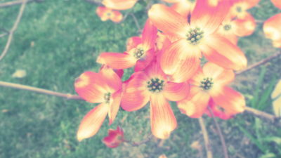 Pic 2 Click – Dusty Dogwood Blossoms
