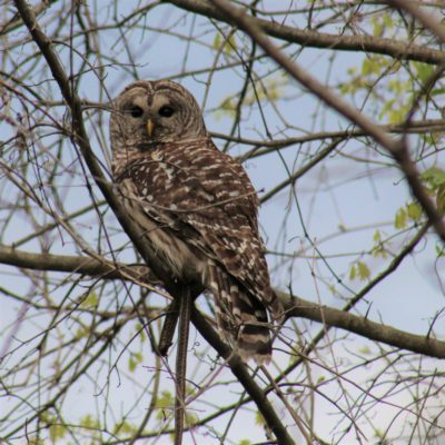 Pic 2 Click – Spotted Owl With Dinner